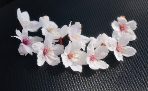 滋賀県の海津大崎にて 桜の花びら D7200で撮影