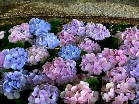 井戸に浮く紫陽花
